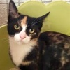 [picture of Violin, a Domestic Short Hair calico cat]