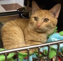 [another picture of Trumpet, a Domestic Short Hair orange\ cat]