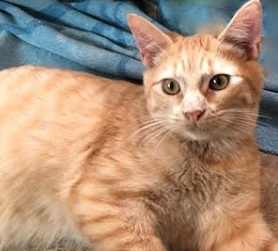 [picture of Trumpet, a Domestic Short Hair orange\ cat]