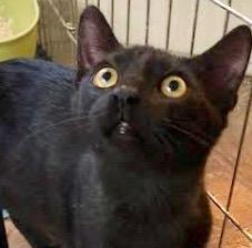 [picture of Chello, a Domestic Short Hair black\ cat]