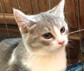 A picture of #ET02156: Trudy a Domestic Medium Hair silver/white