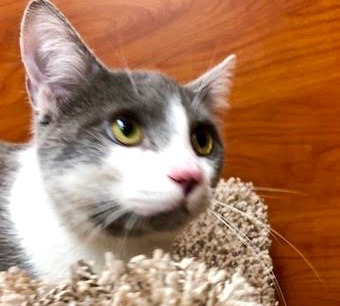 [picture of LB, a Domestic Short Hair blue/white\ cat]