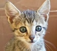 A picture of #ET02161: Chamomile a Domestic Short Hair tabby