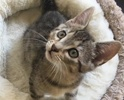 A picture of #ET02162: Mint a Domestic Short Hair marble tabby