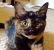 A picture of #ET02164: Tabitha a Domestic Medium Hair tortie