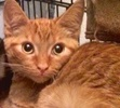 A picture of #ET02165: Darrin a Domestic Short Hair orange