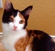 A picture of #ET02166: Endora a Domestic Medium Hair calico