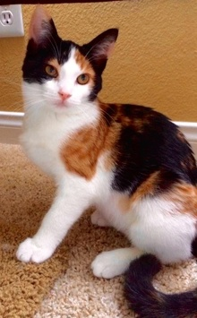 [another picture of Endora, a Domestic Medium Hair calico\ cat]