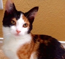 [picture of Endora, a Domestic Medium Hair calico\ cat]