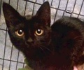 A picture of #ET02167: Samantha a Domestic Short Hair black
