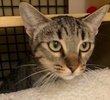 A picture of #ET02168: Lynnie a Domestic Short Hair brown tabby
