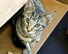 [picture of Mufasa, a Domestic Short Hair brown tabby\ cat]