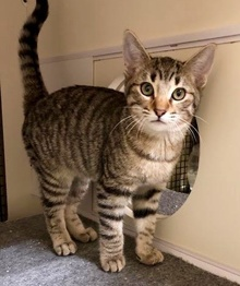 [another picture of Simba, a Domestic Short Hair brown tabby\ cat]