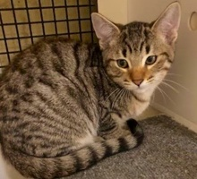 [picture of Simba, a Domestic Short Hair brown tabby\ cat]