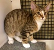 A picture of #ET02171: Nala a Domestic Short Hair brown/white tabby