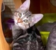A picture of #ET02172: Taquito a Domestic Short Hair black tabby/white