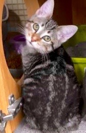 [another picture of Taquito, a Domestic Short Hair black tabby/white\ cat]
