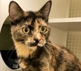A picture of #ET02174: Delsie a Domestic Short Hair tortie