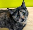 [picture of Delsie, a Domestic Short Hair tortie cat]