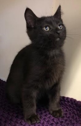 [another picture of Crispy Cream, a Domestic Medium Hair black\ cat]