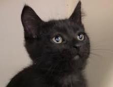 [picture of Crispy Cream, a Domestic Medium Hair black\ cat]