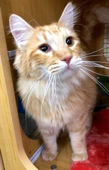[another picture of Dunton, a Maine Coon-x orange\ cat]