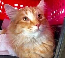 [picture of Dunton, a Maine Coon-x orange\ cat]