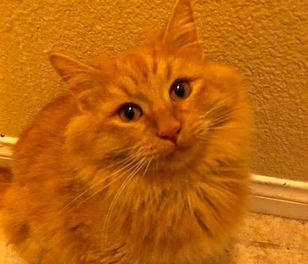 [picture of Dulcie, a Domestic Long Hair orange\ cat]