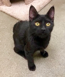 [picture of Stimee, a Oriental Mix black cat]