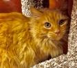 A picture of #ET02185: Killian a Maine Coon-x orange
