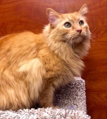 [another picture of Killian, a Maine Coon-x orange\ cat]