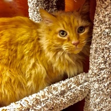 [picture of Killian, a Maine Coon-x orange cat]