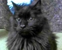 A picture of #ET02186: Obergon a Maine Coon-x black
