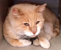 A picture of #ET02187: Big Simba a Domestic Short Hair orange/white