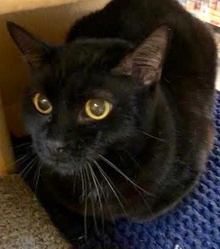 [another picture of Aladdin, a Bombay black\ cat]
