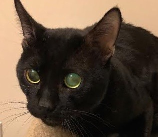 [picture of Aladdin, a Bombay black\ cat]