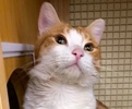 A picture of #ET02189: Kris Kringle a Domestic Short Hair orange/white tripod w/stubby