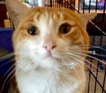 [picture of Kris Kringle, a Domestic Short Hair orange/white tripod w/stubby\ cat]