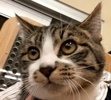 A picture of #ET02191: Springer a Domestic Short Hair gray spot tabby w/white