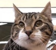 A picture of #ET02192: Verlander a Domestic Short Hair gray spot tabby w/white