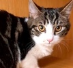 A picture of #ET02193: Alta a Domestic Short Hair black marble tabby/white