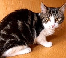 [picture of Alta, a Domestic Short Hair black marble tabby/white cat]