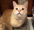 A picture of #ET02194: Scunchy a Domestic Short Hair orange tabby
