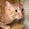 A picture of #ET02195: Tiger a Domestic Short Hair orange