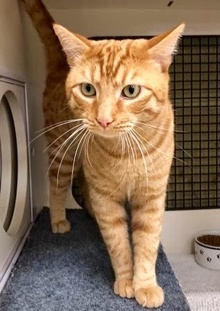 [another picture of Tiger, a Domestic Short Hair orange\ cat]