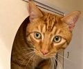[picture of Tiger, a Domestic Short Hair orange cat]