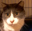 A picture of #ET02197: Rob a Domestic Short Hair blue/white