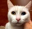 A picture of #ET02199: Jingles a Domestic Short Hair white bi-eye