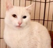 [picture of Jingles, a Domestic Short Hair white bi-eye cat]