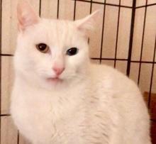 [picture of Jingles, a Domestic Short Hair white bi-eye\ cat]